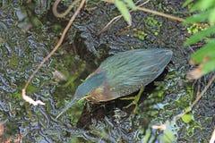 fågeln fann india för den gröna heronen för ghats sällan västra Fotografering för Bildbyråer