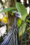 Fågeln har en blå framsida, och röda ögon och fjäderdräkten är av coba royaltyfri fotografi