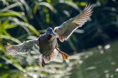 Fågeln i dammet Arkivbilder