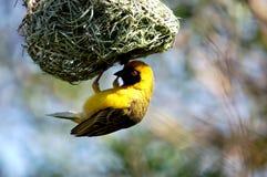 fågeln maskerade vävaren Royaltyfri Fotografi