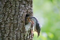Fågeln matar gröngölingen från näbb till näbb Nuthatchen matar gröngölingen vid larven Lös naturplats av vårskogliv Royaltyfri Fotografi
