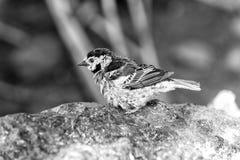 Fågeln med blått befjädrar sammanträde på stenen royaltyfri fotografi