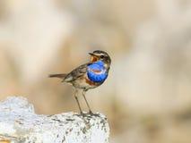 Fågeln med ljusa blåttfjädrar står på en sten och sjunger i th Royaltyfria Bilder