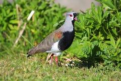 Fågeln med rött synar Fotografering för Bildbyråer