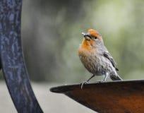 Fågeln med solrosen kärnar ur Royaltyfria Bilder