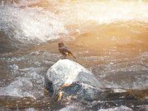 Fågeln mot den rasa floden fotografering för bildbyråer