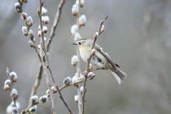 Fågeln sitter bland den fluffiga pilen för filialer i en parkera i vår Arkivbilder