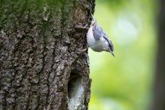 Fågeln som nuthatchen fortskrider trädstammen som kura ihop sig, väntar på matning i fördjupningen av eken Arkivfoto