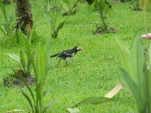 Fågeln som A tjänar ens uppehälle på gräset, är läcker dagget Royaltyfria Foton