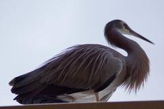 fågeln vände heronwhite mot Royaltyfria Bilder