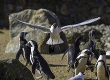 Fågeln visar av flyg till flightless fåglar Evolution av vingar Royaltyfria Bilder