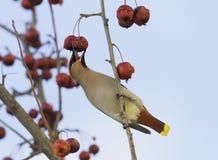Fågeln waxwingen äter djupfrysta röda äpplen i vinter royaltyfri fotografi