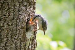 Fågelnuthatchen matar den unga hungriga gröngölingen från näbb till näbb Lös naturplats av vårskogliv Royaltyfri Fotografi