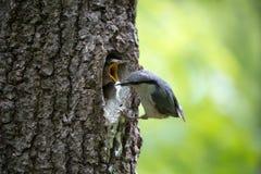 Fågelnuthatchen tar bort kull från de lyckliga föräldrarna för redet av fågelfamiljen som gör deras jobb Arkivbild