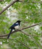 fågeloriole Royaltyfria Bilder