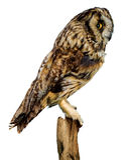 fågelowl Royaltyfria Foton