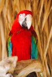 Fågelpapegoja Arkivfoton