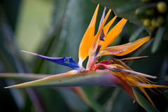 fågelparadis Royaltyfria Bilder