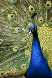 fågelparadispåfågel arkivbilder