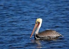Fågelpelikan i floden San Juan fotografering för bildbyråer