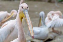 Fågelplats och skönhet i natur Den stora vita pelikan - Pelec Arkivfoton