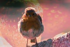 Fågelrödhake med jordgubbetextur A Arkivbild