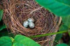Fågelrede och ägg royaltyfria bilder