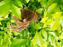 Fågelrede på trädfilial med gulliga bruna ägg inom Arkivfoton