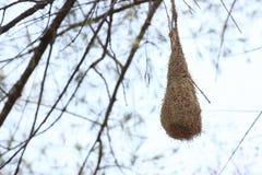 Fågelredeoj träd Royaltyfri Foto
