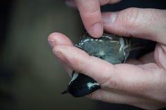 Fågelringning Arkivbild