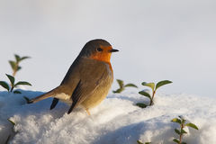 fågelrobin Arkivfoto