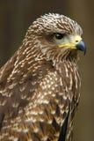 fågelrov Royaltyfria Foton