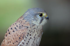 fågelrov Royaltyfri Foto