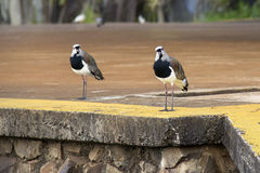 Fågelsång i civilisation Arkivfoto