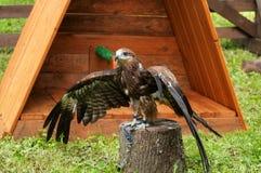 Fågelsammanträde för svart drake på sittpinnen och öppningen vingarna ut Arkivfoton