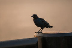 Fågelsammanträde på en stolpe på soluppgång Royaltyfri Fotografi