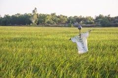 Fågelskrämma i risfält på solnedgångbakgrund Arkivfoton
