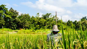 Fågelskrämma i risfältbakgrund av skogen och himmel Royaltyfri Fotografi