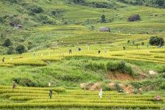 Fågelskrämma i risfältet Arkivfoton