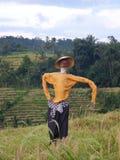 Fågelskrämma på härliga risfält av Jatiluwih, Bali, Indonesien Arkivfoton