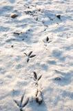 fågelsnowtrail Fotografering för Bildbyråer