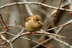 fågelsparrow Royaltyfri Foto