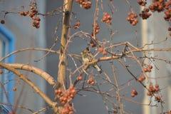Fågelsparv royaltyfri bild