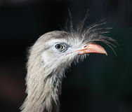 fågelståendeseriema royaltyfri bild
