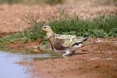fågelsteppe Royaltyfria Bilder