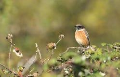 fågelstonechat Fotografering för Bildbyråer