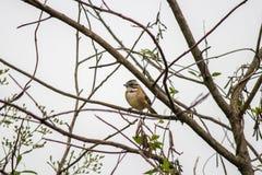 Fågeltico-tico fotografering för bildbyråer