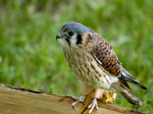 fågeltornfalkrov royaltyfria foton