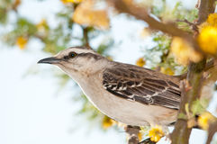 fågeltrush Royaltyfria Bilder