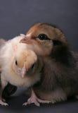 fågelungar Royaltyfri Foto